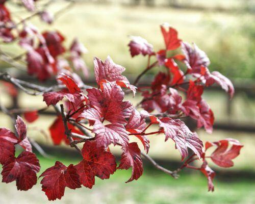 sassafras-tasmania-autumn-leaves-1