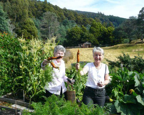 sassafras-tasmania-picking-carrots-1