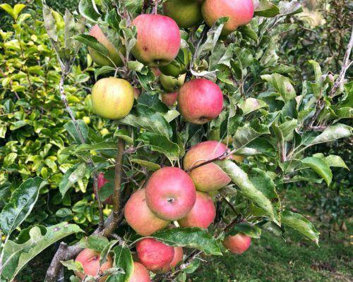 sassafras-tasmania-red-apples-1