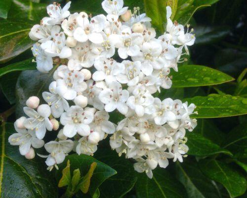 sassafras-tasmania-white-flowers-1